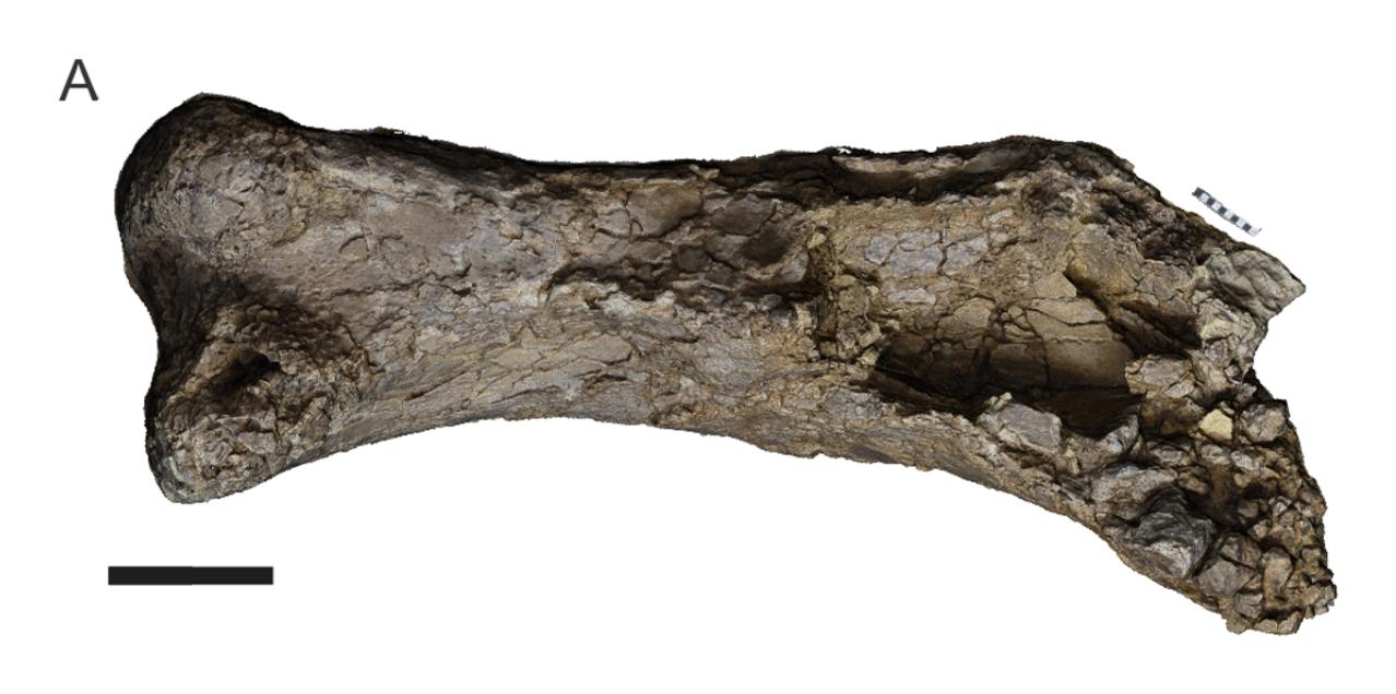Masivní fosilie pravé stehenní kosti druhu Australotitan cooperensis dokládá obří velikost svého dávného původce. Tento kolosální obyvatel současného Queenslandu z období počínající pozdní křídy je se značným odstupem největším známým australským din
