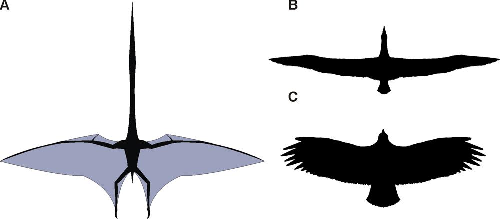 Silueta obřího ptakoještěra vedle siluet kondora andského (dole) a albatrosa stěhovavého (nahoře). Velikost všech tří letců není ve správném měřítku, ptakoještěr měl rozpětí přibližně 3,5krát větší než oba ptáci. Kredi
