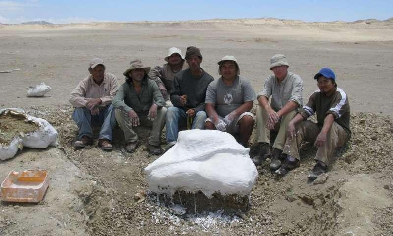 """Paleontologové z Muzea v Limě a Paříže s poněkud zimrmanovským tvrzením: """"Tam uvnitř vidíte část kostry tvora Mystacodon selenensis.""""  (Kredit: Giovanni Bianucci)"""