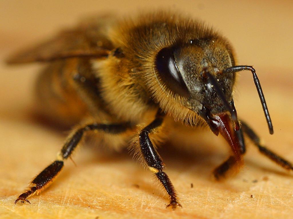 Klasika s hmotností desetiny gramu se přesouvá z místa na místo rychlostí 21 až 24 km/h. Denně včely jednoho úlu navštíví přes 225 000 květin. Jedna včela opyluje  až několik tisíc květů.