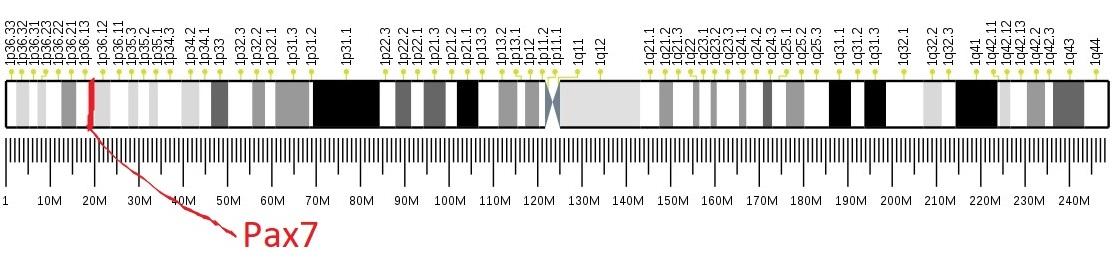 Gen pro protein Pax7 mají nejen hlodavci, ale i lidé. Nám sídlí na chromozómu č.1.