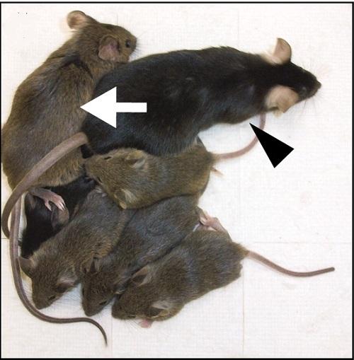 """Potomstvo dvou otců se má čile k světu. Bílou šipkou je označena chiméra v jejíž vaječnících se tvoří vajíčka vzniklá z indukovaných pluripotentních buněk samečka. Vajíčka nesla jen samčí genom, byla to """"samčí vajíčka"""". Černou šipkou je označen sameč"""