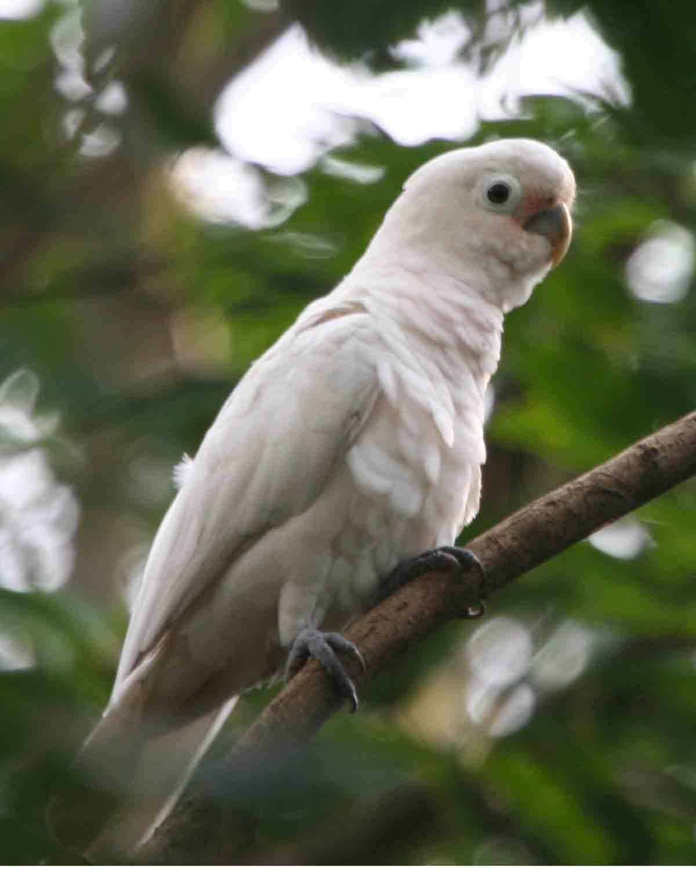 Kakadu goffinův (Cacatua goffiniana)je doma v souostroví Tanimbar v blízkosti Nové Guineje. Ze všech papoušků žije asi nejdéle, údajně až okolo 110 let. Možná proto, že umí ekonomicky myslet).  (Kredit: Lip Kee Yap, CC BY-SA 2.0, Wi