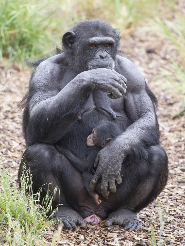 Asi za mÄ›sĂc by mÄ›la Zombi porodit vlastnĂho potomka.  (Kredit: Monarto ZOO)