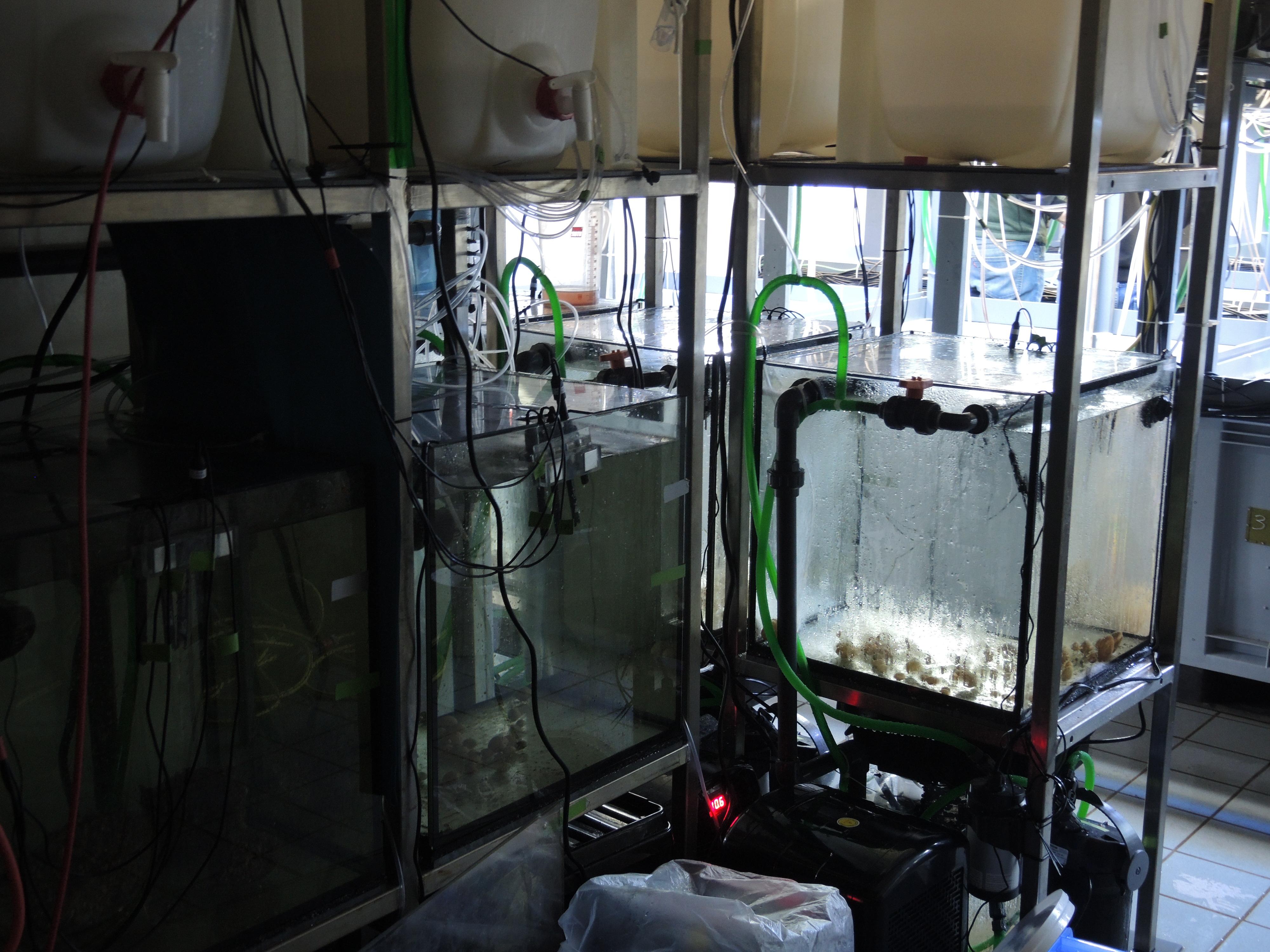 Chov ramenonožců v laboratoři.