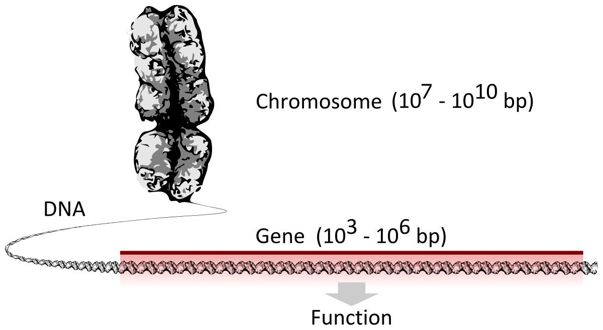 Chromozomyjsou dlouhé řetězce DNA, které obsahují mnoho genů. Lidský chromozom může mít až 500 milionůpárů bázíDNA s tisíci genů. (Kredit: Thomas Shafee. CCA 4.0).