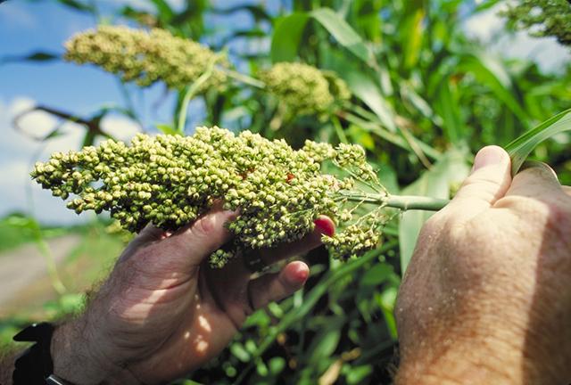 V zelených částech čiroku obzvláště u mladých výhonků se nachází dhurrin glykosid velmi podobný amygdalinu. Kredit: Larry Rana, USDA volné dílo