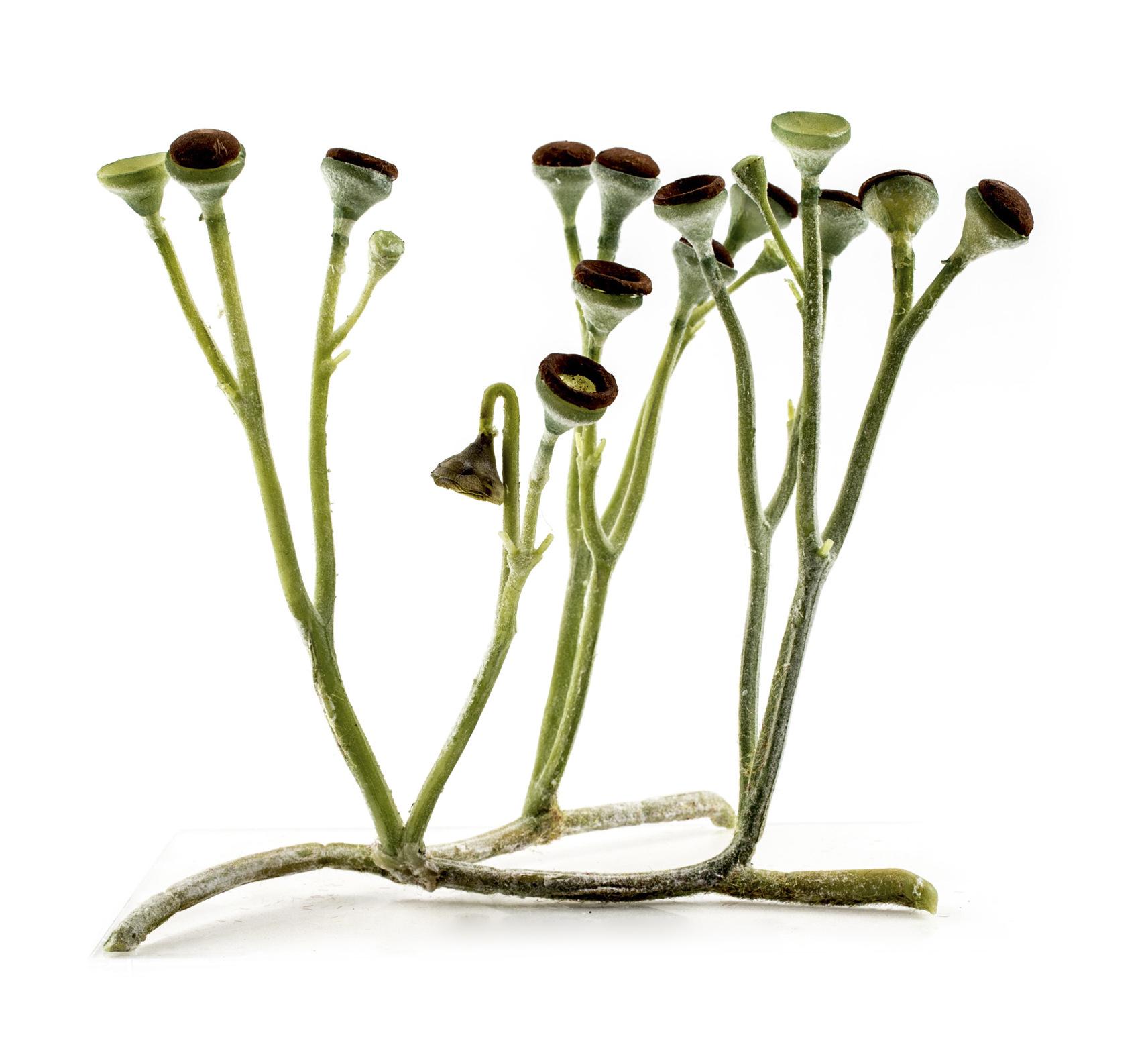 Cooksoniase zdá být nejjednodušší cévnatou rostlinou. Má větvené stonky s kulovitými výtrusnicemi. Rekonstrukce je z dílny Matteo De Stefano/MUSE Science Museumof Trento. Wikimedia Italia.