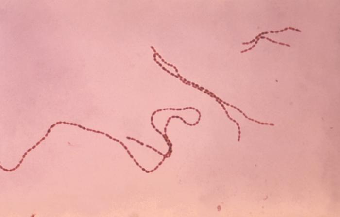 """Coprococcus eutactus – jeden  z """"ochranářů před ionizujícícm zářením"""", jmenovaný v publikaci, náleží k anaerobním bakteriím střevního traktu. Náleží do čeleďi Lachnospiraceae a řadí se ke klostridiím. (Zdroj: http://eol.org/data_objects/3602616, Wiki"""
