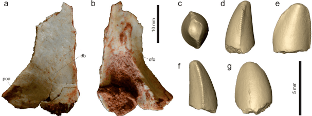 Kost lebky a virtuální model zubu teropoda druhu Vespersaurus paranaensis. Tento malý dinosaurus byl zřejmě aktuivním predátorem, lovícím menší obratlovce a příležitostně snad pojídajícícm i bezobratlé, vajíčka, části rostlin apod. Při velikosti něme