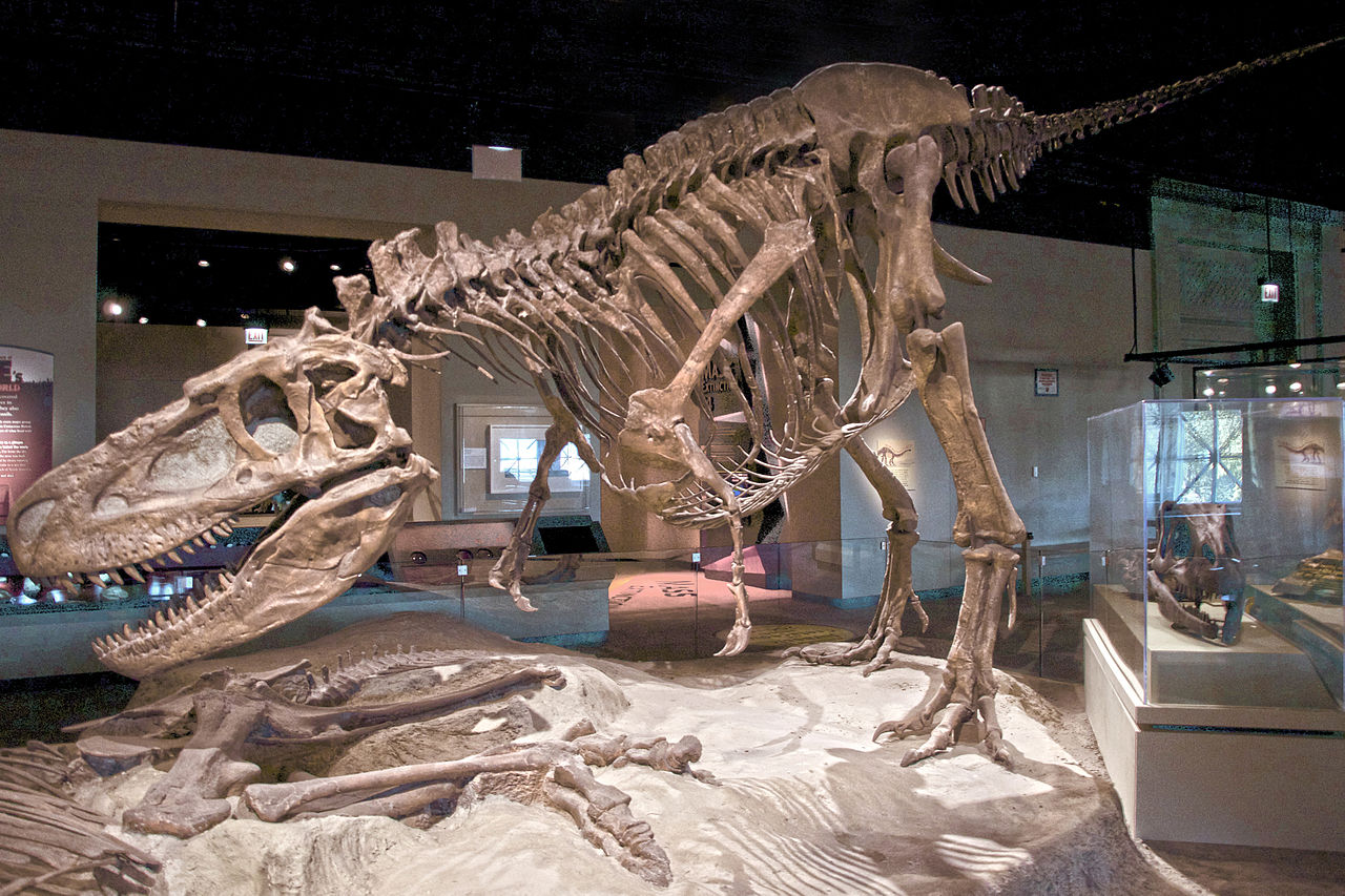 Restaurovaná kostra daspletosaura (FMNH PR308) v expozici Field Museum v Chicagu. Tyranosaurid, objevený v souvrství Dinosaur Park na území kanadské provincie Alberta je zde však ve stínu svého mnohem slavnějšího a většího příbuzného. Tím je exemplář