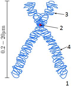 Tak se většinou popisuje stavba chromozomu 1 = chromatida, 2 = centromera, 3 = krátké raménko, 4 = dlouhé raménko. O obalu z jiného materiálu ani ťuk. (Kredit: Magnus Manske, Wikipedia,  licence 3.0 Unported)