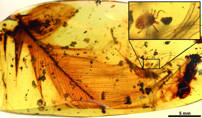 Nasáté klíště se dinosauřího peří drží už sto milionů let. Kredit:  Pe?alver et al.: Ticks parasitised feathered dinosaurs as revealed by Cretaceous amber assemblages. Nature Communications,Open access.