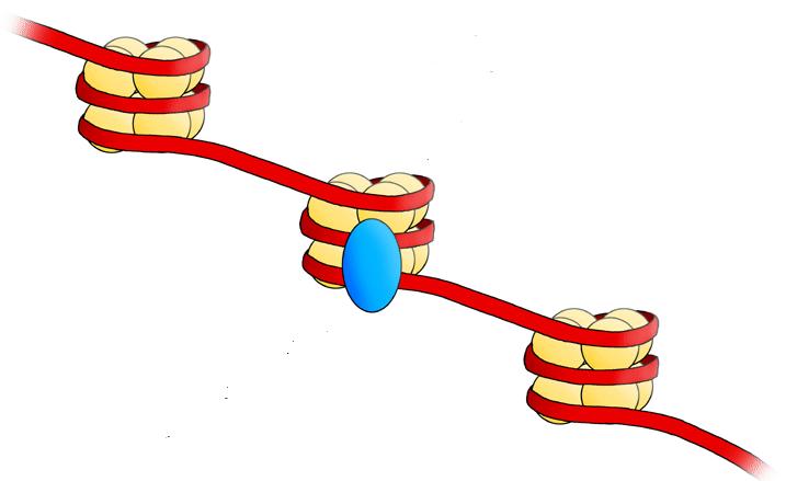 BuĹ?ky nemizĂ beze stopy, zanechávajĂ po sobÄ› DNA vlákno s nukleozomy.