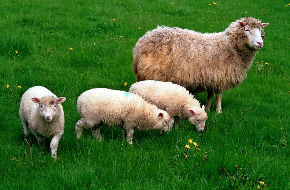 Celkem za život přivedla Dolly na svět šest jehňat. Na snímku s trojčaty Lucy, Darcy a Cotton.   Kredit: Roslin Institute.