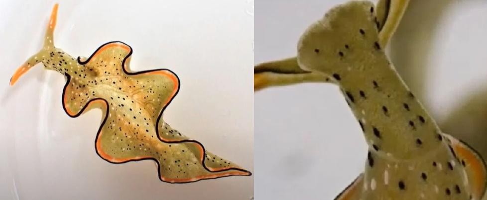 Zbarvení plže varuje predátory před toxiny, které jeho tělo obsahuje. V mladosti endoparazitům dokáže uniknout tak, že jim přenechá celé tělo a hlava, která se oddělí podél viditelné linie (detail) si vytvoří nové a zdravé. Zelené zbarvení těla způso