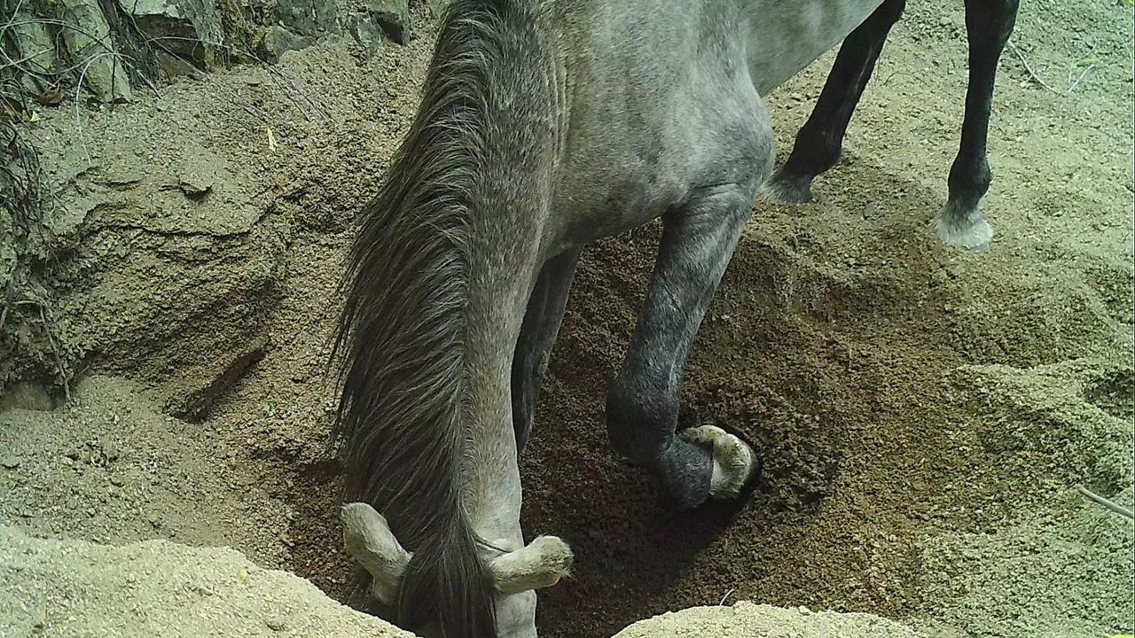 Studně vyhloubené osly dosahují hloubky až dvou metrů. V období sucha se taková napajedla stávají pro místně původní druhy, požehnáním. Kredit: Erick Lundgren, University of Technology v Sydney. Biolog Erick Lundgren, první autor studie. Kredit: Uni