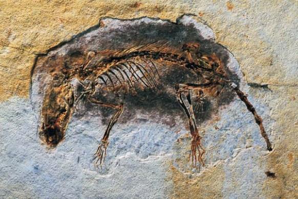 Fantasticky zachovaná fosilní kostra druhu E. scansoria vykazuje přítomnost původního obrysu srstnatého pokryvu těla a množství diagnostických znaků, na jejichž základě bylo možné rozhodnout, že se nejspíš jedná o vývojově vyspělého savce z kladu Eut