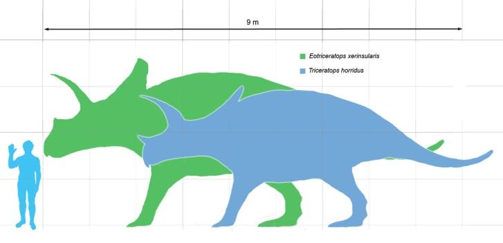 Grafické srovnání ukazuje, jak velcí byli zástupci dvou největších známých druhů rohatých dinosaurů v porovnání s dospělým člověkem o výšce 1,8 metru. Zeleně je zobrazen Eotriceratops xerinsularis, modře jeho o trochu menší pravděpodobný evoluční pot