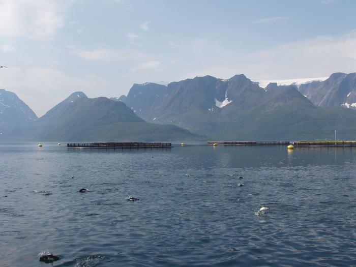I tato lososí farma v Norském fjordu produkuje velkou část ryb silně nahluchlých. Kredit: Tim Dempster (University of Melbourne)