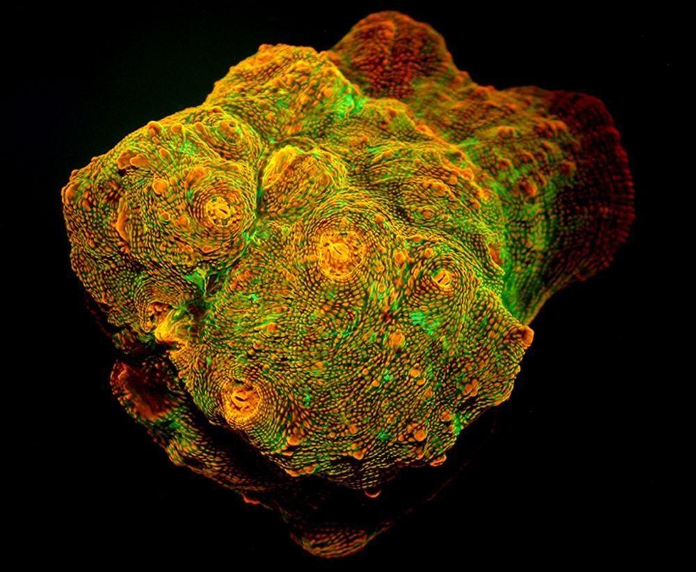 Fluoreskující společenství korálů (Echinophyllia sp). Oranžově červený pigment je protein zvládající fotokonverzi. V hloubkách, kam proniká světlo o krátké vlnové délce, toto oranžovočervené barvivo zvyšuje řasám výkonnost fotosyntézy.