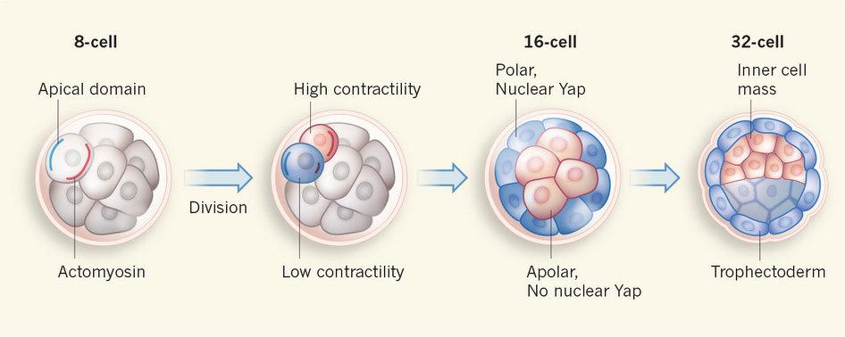 Obrázek 1: Dělící se embryo v době několika dní po oplození. Již blastomery 8-buněčného embrya mají jasno, která jejich část je budoucím embryoblastem a která bude trofoblastem. O všem rozhoduje schopnost kontraktility jednoho zp