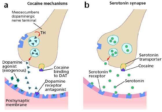 Mechanismus působení kokainu je dnes již znám.
