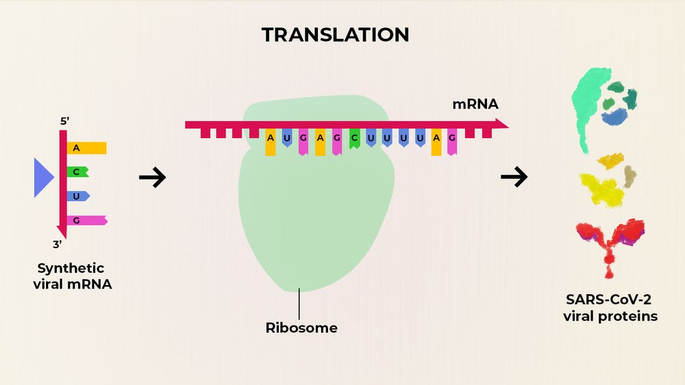 Schema fungování vakcíny připravované společností Moderna. Nejdůležitější je připravit syntetický kód (řetězec RNA), aby byl dostatečně stabilní a aby podle něj buňky svými ribozomy (uprostřed) ochotně produkovaly molekulu virového proteinu (vpravo).