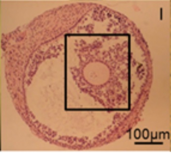 Histologický řez in vitropěstovaného folikulu uvnitř s oocytem a obalem kumulárních buněk svědčí o bezproblémovém vývoji. Kredit: M McLaughlin, et al. 2018