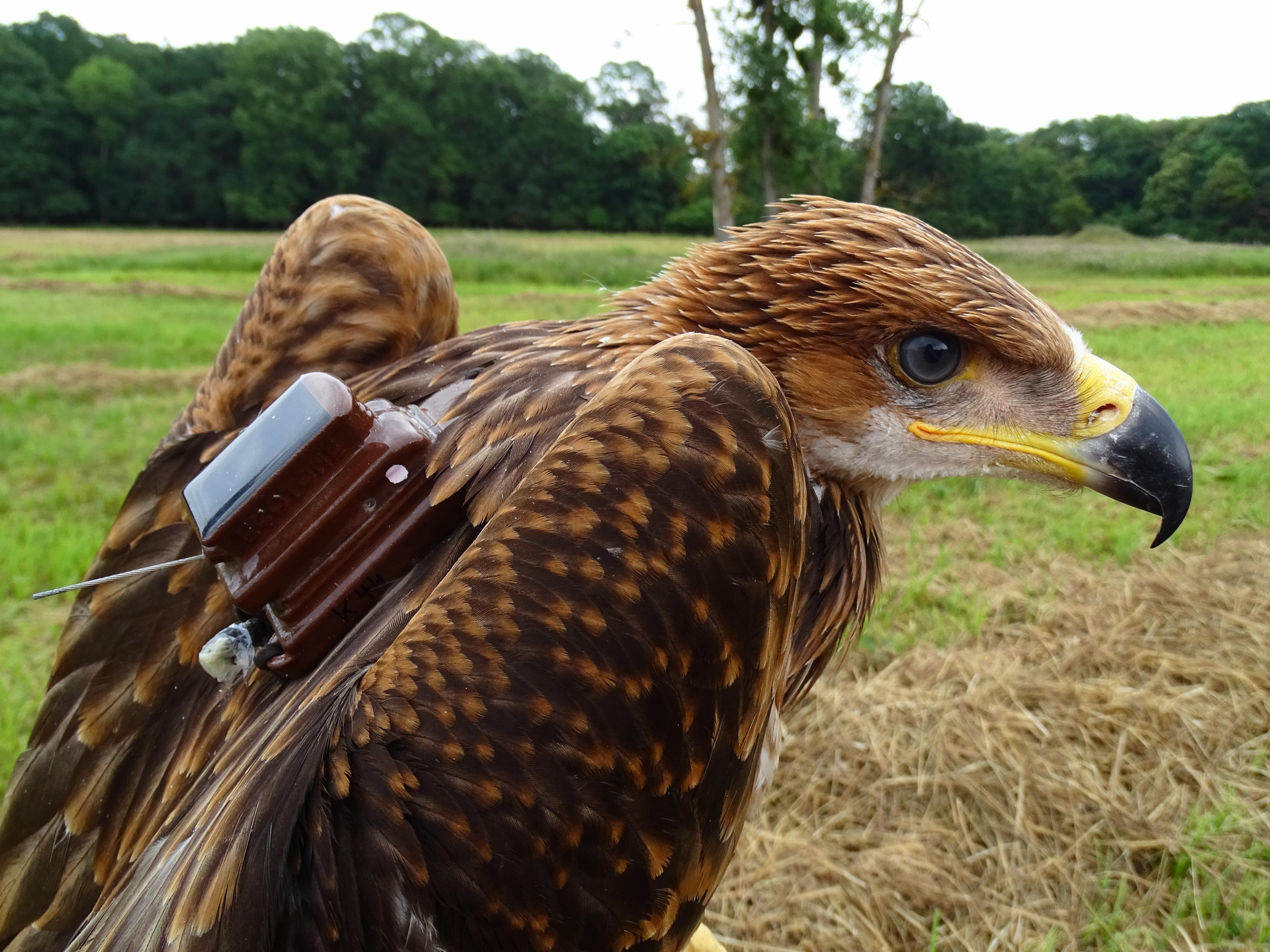 Dva mladí orli královští dostali lehké batůžky se satelitními vysílačkami. Foto: Zuzana Karlíková, ČSO