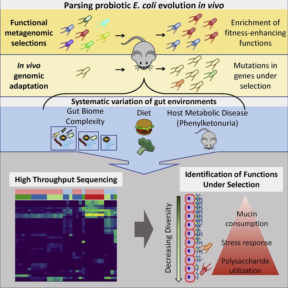 Escherichia coli Nissle 1917 je probiotikum, ale také uvažovanou platformou pro genoinženýring a bioterapie. Žel její chování ve střevě se v případě stresu ukázalo být těžko předvídatelné. Grafický abstrakt. Kredit Crook et al., 2019.