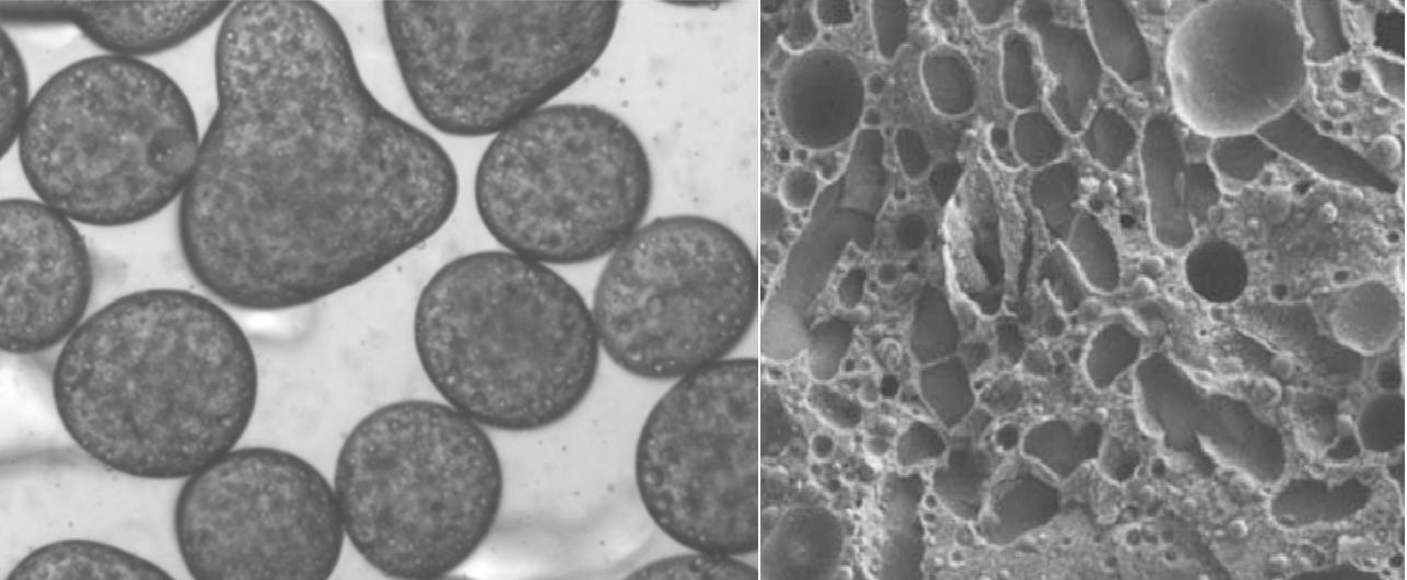 Vlevo - emulze stabilizovaná pomocí BslA, obrázek byl pořízen elektronovým mikroskopem. Vpravo je pohled světelným mikroskopem na sladkost stabilizovanou BslA. Kredit: University of Edinburgh.