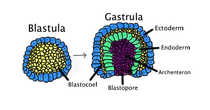 Rané embryo je dutá koule tvořená méně než stovkou buněk. Gastrula vzniká, když se blastula, složená z jedné vrstvy zvětší a  vchlípí se dovnitř. Na obrázku jsou barevně odlišeny: ektoderm (modrý);endoderm (zelená);blastocoel (žloutkový váček - žlu