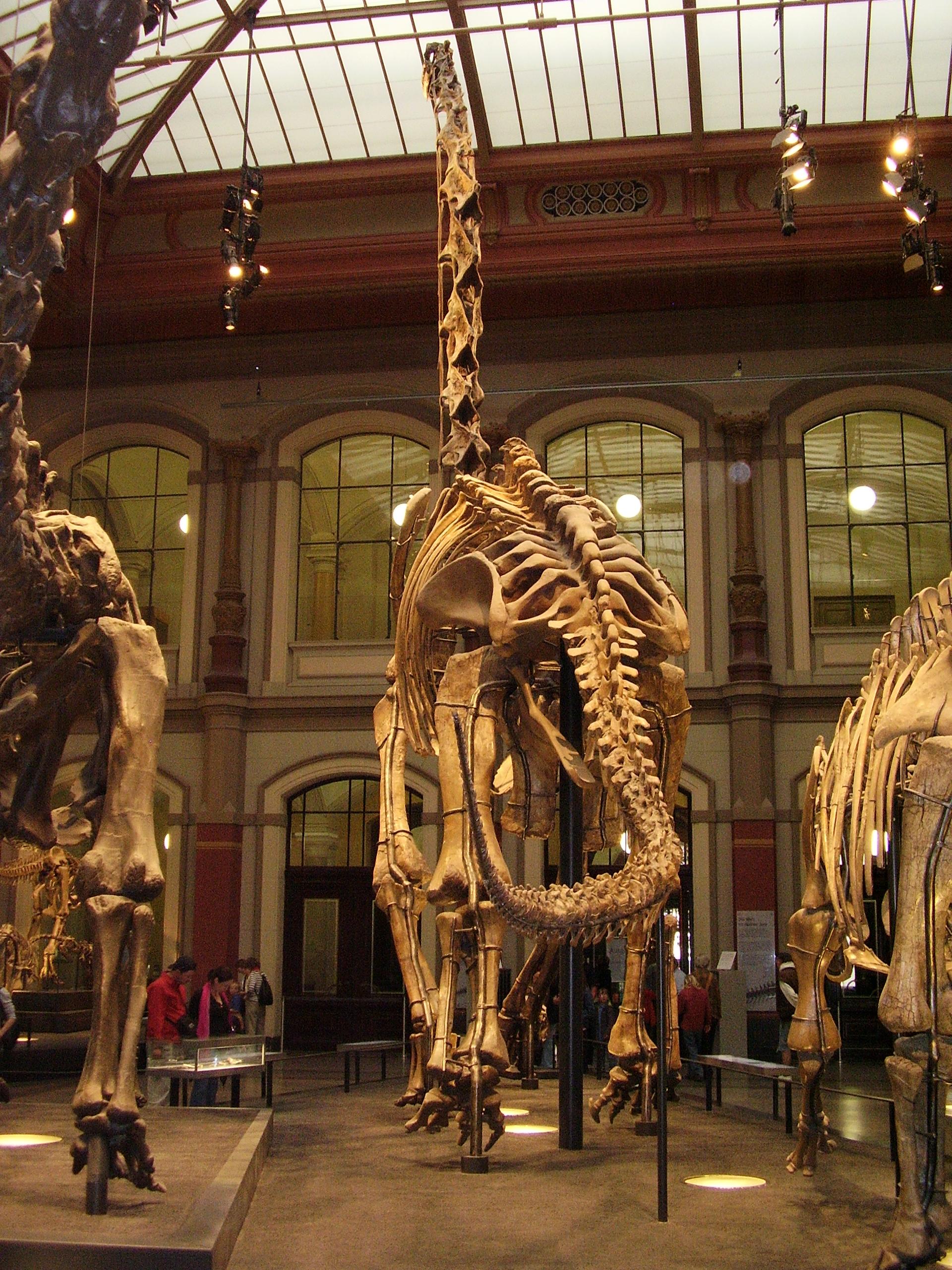 Kostra druhu G. brancai v berlínském Přírodovědeckém muzeu, pohled zezadu. V roce 2007 byla tato kompozitní replika přesně změřena a s výškou 13,27 metru zapsána do Guinessovy knihy rekordů jako nejvyší smontovaná dinosauří kostra