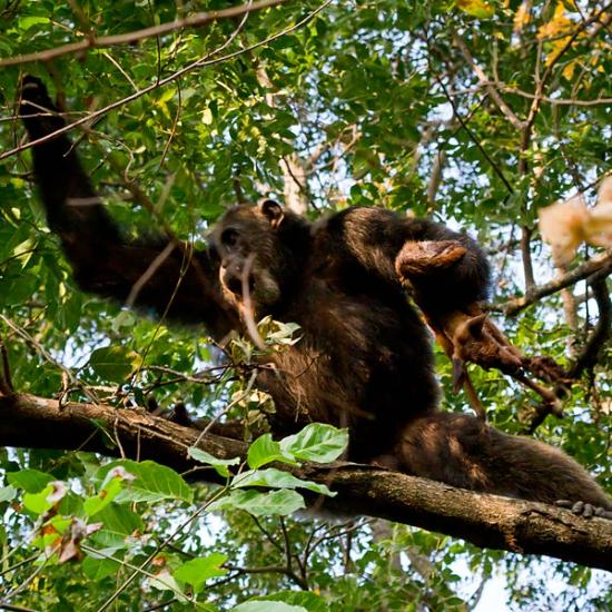 Co mají šimpanzi se stromy? Kredit: Ikiwaner / Wikimedia Commons.