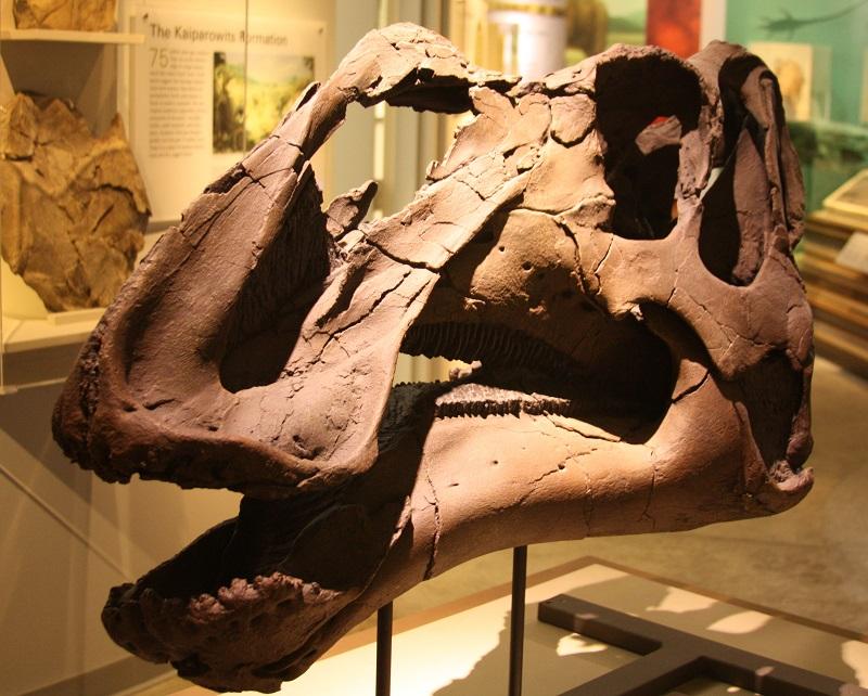 """Rekonstruovaná lebka možného původce koprolitů ze souvrství Kaiparowits, kachnozobého dinosaura druhu Gryposaurus monumentensis. Tento saurolofinní hadrosaurid dosahoval délky asi 9 metrů a hmotnosti kolem 3 tun. Dalším """"kandidátem"""" na původce koprol"""