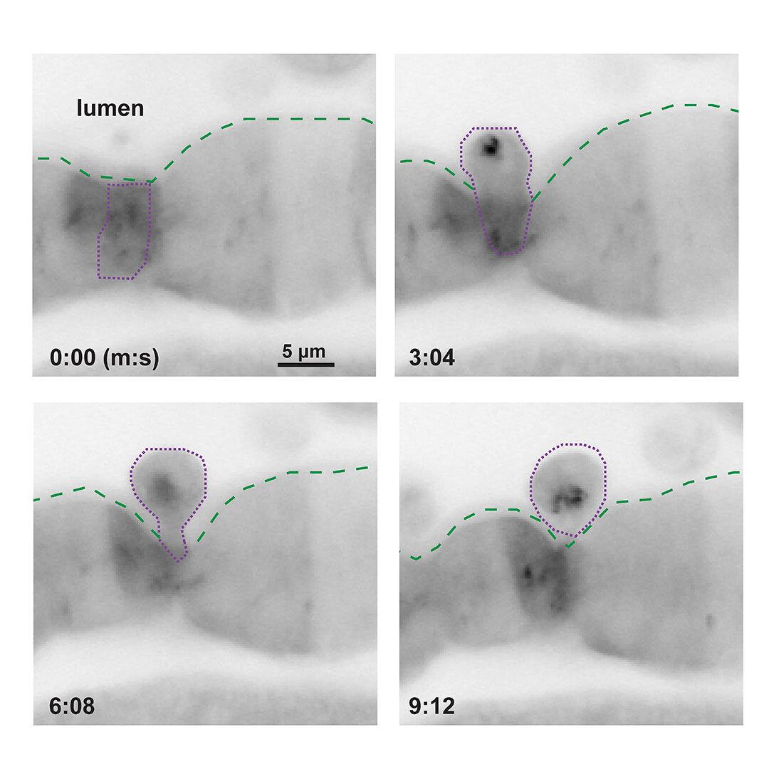 """Série snímků odhaluje, jak epitelové buňky svou nežádoucí kolegyni určenou k likvidaci kvůli tomu, že si až příliš """"pobrala chemie"""", začnou ze svého kolektivu vystrkovat. Během deseti minut je po všem. Kredit: John Rawls Lab, Duke University."""