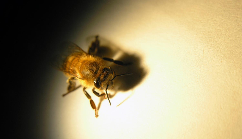 Včelí navigace zrakem je mnohem přesnější, než se soudilo. Vidí ostřeji i menší detaily. (Kredit:  Elisa Rigosi, Lund University)