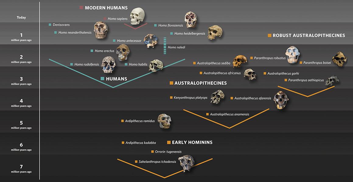 Evoluce našich příbuzných. Čedarský muž se svým věkem pouhých deseti tisíc let, náleží k Homo sapiens. Kredit: Natural History Museum, London.