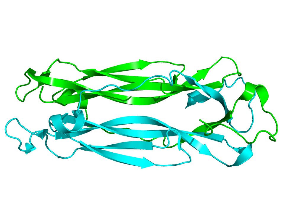 Interleukin 17 – protein podporující zánět a prorůstání tkáně hustou sítí krevních vlásečnic. (Kredit: Wikipedia, volné dílo)