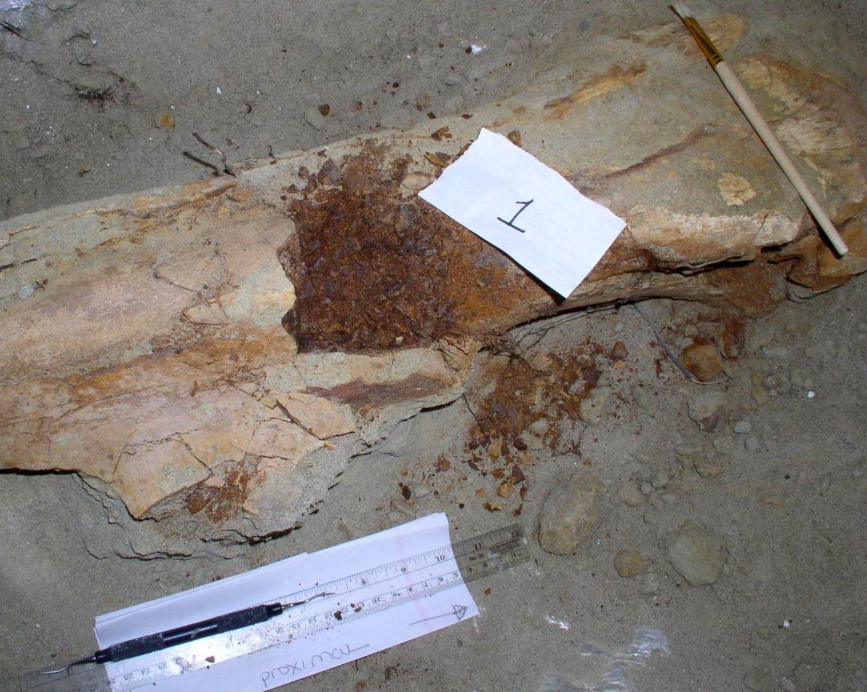 """Stehenní kost brachylofosaura MOR 2598, ze které byl poněkud nešetrným způsobem odebrán vzorek pro molekulární analýzu. Je jasně patrné, proč jen málokteré muzeum umožňuje provádět na svých fosiliích podobný výzkum. Schweitzerová a další """"molekulární"""