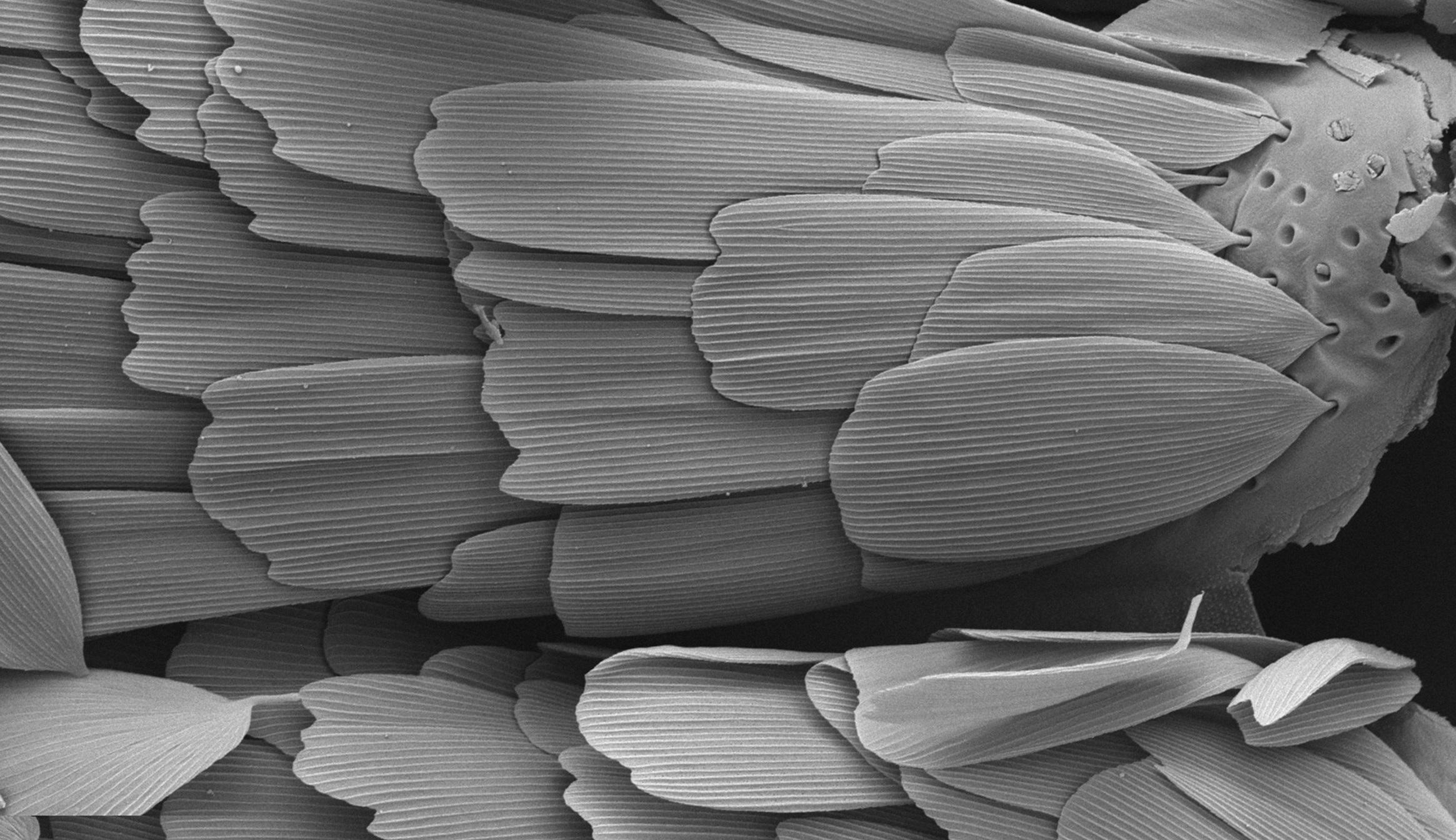 Pohled elektronovým mikroskopem na šupinky na křídle dnešního příbuzného primitivních můr z podřádu  Glossata(řádLepidoptera). Do tohoto podřádu se zahrnují všechnimotýli, denní i noční a všichni jeho zástupci se vyznačují sosákem. Kredit: Hossein