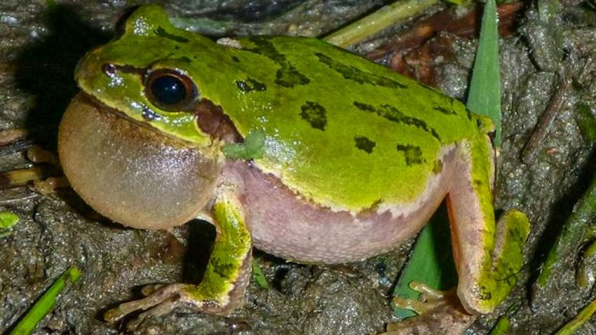 Sameček rosničky japonské  ve chvíli svého milostného roztoužení. Nakažení žabáci zpívají s větší vervou a jsou pro samičky atraktivnější. (Kredit: Jungbae Park)