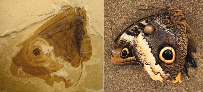 Křídla současného motýla (vpravo) a skvěle zachovaná zkamenělina křídla kalligrammatidního síťokřídlého hmyzu z druhohorní éry. Kredit: James DiLoreto, Smithsonian