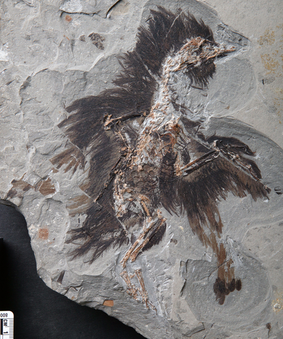 Jeden z nálezů nejlépe zachovaného peří u předchůdce ptáků, pochází rovněž ze  sevení Číny, náleží dinosaurovi Eoconfuciusornis. Je v lepším stavu, než peří  anchiornise, čemuž se nelze moc divit. Je o třicet milionů let mladší. Kredit: Dr. Xiaoli Wa