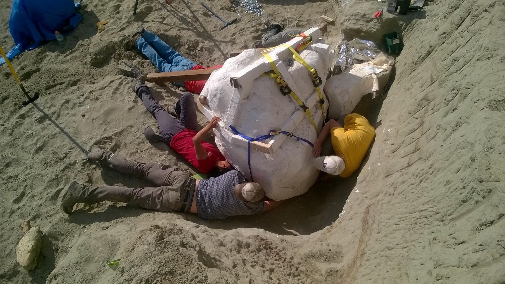 Částečně zachovalá lebka nového jedince tyranosaura v ochranném sádrovém obalu před převozem do preparační laboratoře. Fosilní lebka o délce asi 1,2 metru váží i s okolní horninou výrazně přes 1 tunu. Byla odkryta v sedimentech souvrství Hell Creek n