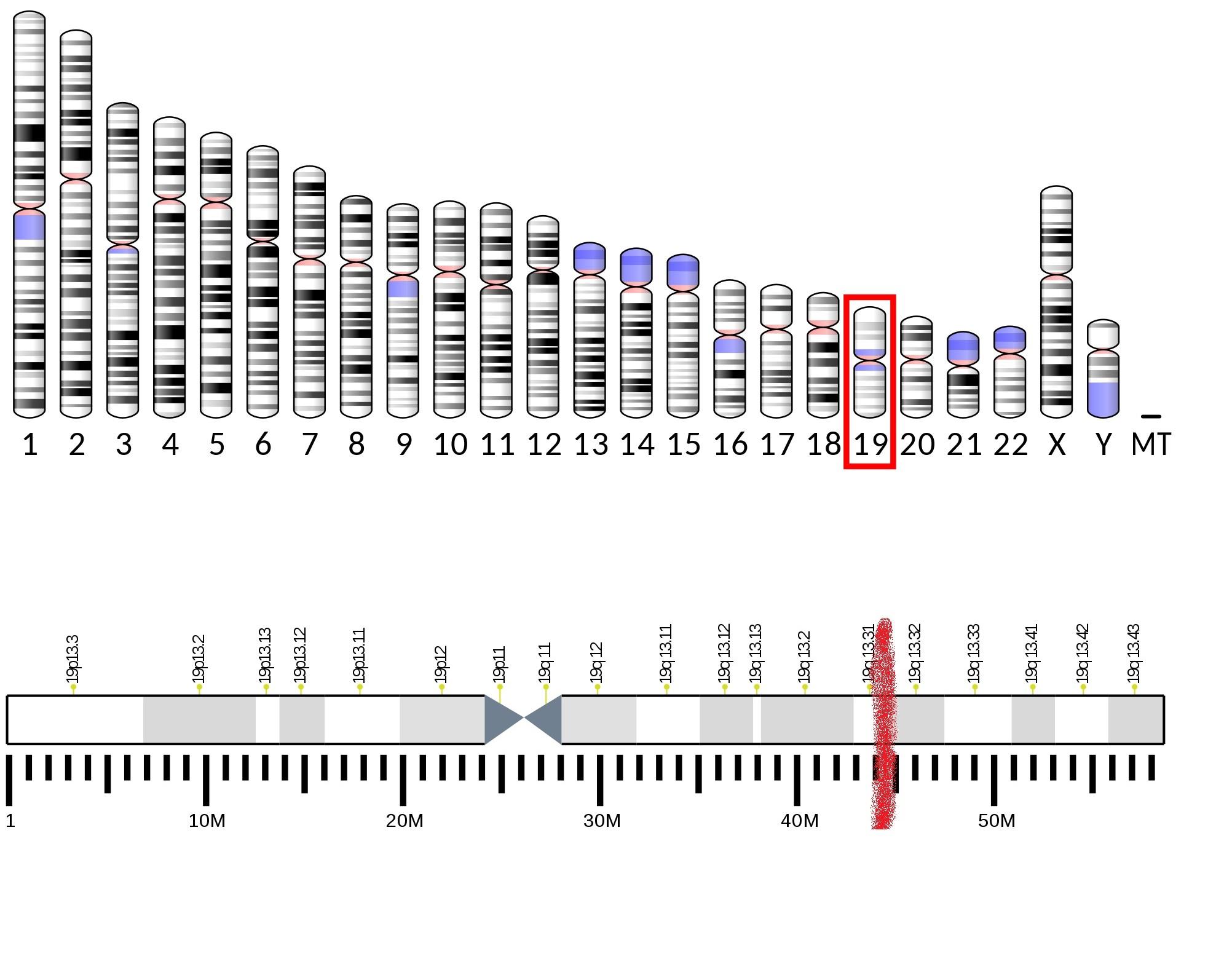 Lidský gen APOE, je umístěn na devatenáctém chromozomu. Skládá se ze čtyřexonůa třechintronů. Jeho lokalizace na delším z ramen chromozomu je vyznačena červeně na spodním obrázku.