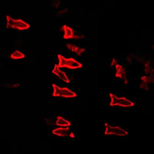 Červeně světélkující mikrorybky. Kredit: W. Zhu & J. Li / UC San Diego Jacobs School of Engineering.