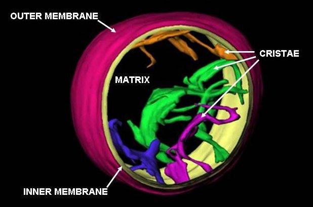 Mitochondrie - energetickĂ© jednotky buĹ?ky majĂcĂ na starosti pĹ™evážnou částbuněčnĂ©ho dĂ˝chánĂ. NeuronĹŻm, kterĂ© o svĂ© mitochondrie pĹ™išly, závisĂ na jejich dostupnosti Ĺľivot. (Kredit: Mannella, volnĂ© dĂlo)