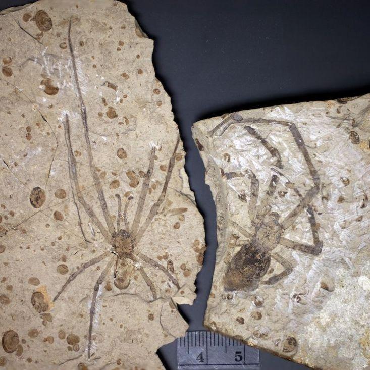 Dva známé exempláře druhu Mongolarachne jurassica, zachované v sopečných sedimentech z období střední jury. Před 164 miliony let se tito pavouci nejspíš živili hmyzem, který uvízl v jejich sítích. Kredit: Paul A. Selden, Wikipedie (CC BY-SA 3.0)